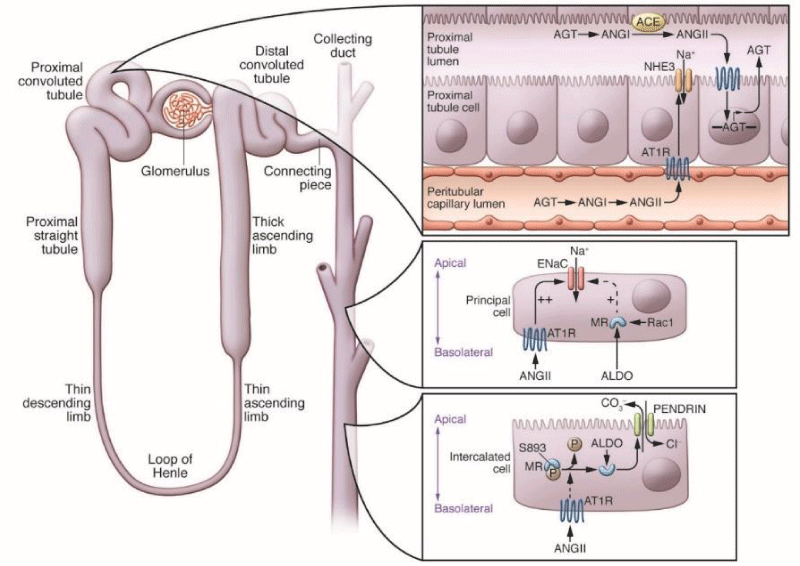 Role of the Kidneys in the Regulation of Intra-and Extra